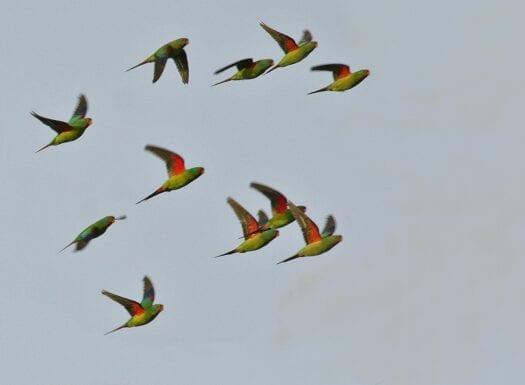 swift parrots in flight