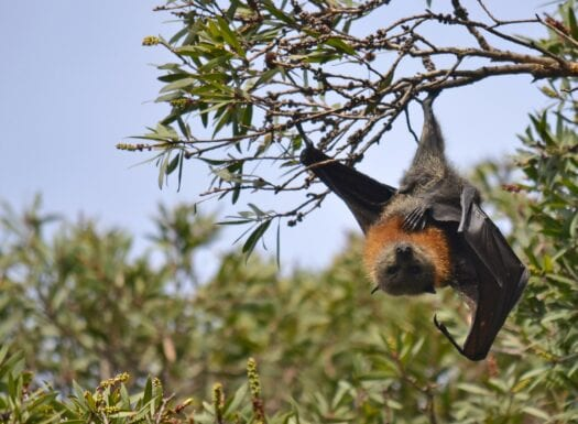 flying fox bat hanging upside down from tree