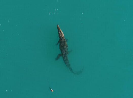 Department of Environment and Science first crocodile captured with a drone