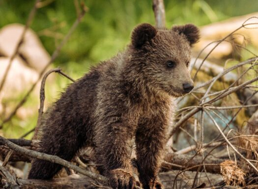 the wildlife society annual conference - bear cub standing on fallen tree branches